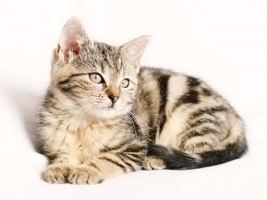 Precio vacuna gato