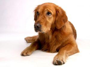 vacunas para perro